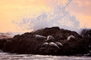 sea-lions-on-rocks-cp