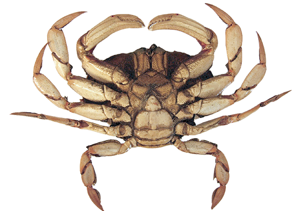 crab-female-legal