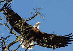 bald-eagle-taking-flight-by-elisabeth-lake