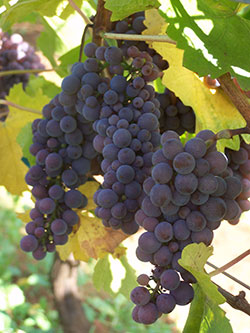grapes-on-vine-by-sally-mcaleer